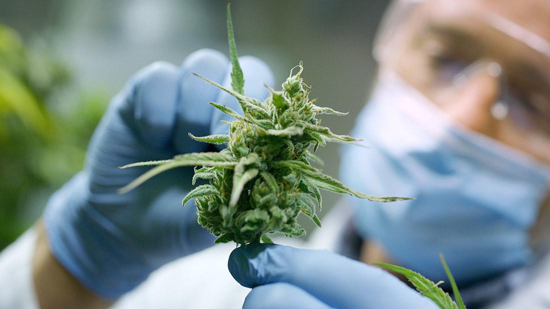 Cannabis y cáñamo en el Uruguay - Sitio Arquitectura
